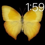 ツバメオオキチョウPhoebis neocypris rurinaペルー Peru