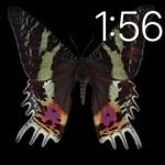 ニシキオオツバメガChrysiridia rhipheusマダガスカル Madagascar*チョウ目ツバメガ科